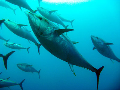 rsz_radioactive-albacore-tuna-off-pacific-northwest-coast